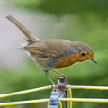 Robin on rotary clothes line